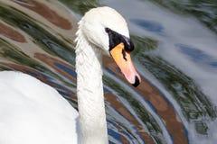 Plan rapproché d'un cygne blanc Images libres de droits