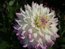 Plan rapproché d'un dahlia de blanc-lilas Images stock