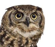 Plan rapproché d'un Eagle-hibou repéré - africanus de Bubo photographie stock libre de droits