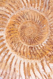 Plan rapproché d'un fossile d'ammonite Photos stock