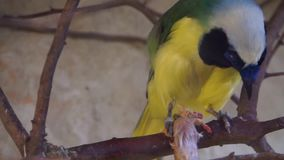 Plan rapproché d'un geai d'Inca avec sa proie dans un arbre, espèce tropicale colorée d'oiseau banque de vidéos