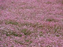Plan rapproché d'un gisement rose de sarrasin Photographie stock libre de droits