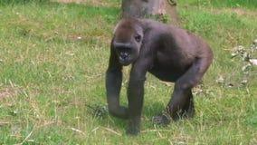 Plan rapproché d'un gorille occidental marchant par l'herbe, espèce populaire de grande singe d'Afrique, espèces animales en crit banque de vidéos