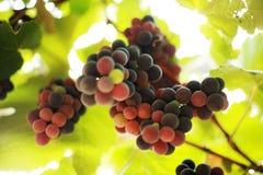 Plan rapproché d'un groupe de raisins Photos libres de droits