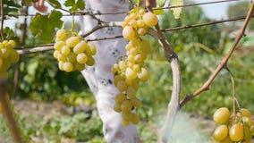 Plan rapproché d'un groupe de raisins Grande vigne La fille passe par banque de vidéos