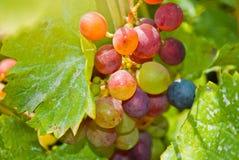Plan rapproché d'un groupe de raisins sur la vigne Photographie stock libre de droits
