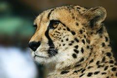Plan rapproché d'un guépard image stock