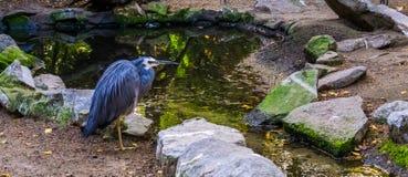 Plan rapproché d'un héron affronté blanc, d'oiseau avec le plumage bleu et de chef blanc, héron tropical d'Australie image libre de droits
