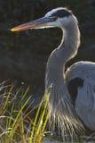 Plan rapproché d'un héron de grand bleu - la Floride photo libre de droits