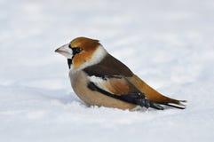 Plan rapproché d'un hawfinch, Coccothraustes de Coccothraustes Images stock