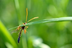 Plan rapproché d'un Ichneumonidae coloré Brown-orange Netelia d'Ammophila de guêpe, accroché à une lame d'herbe Photographie stock libre de droits