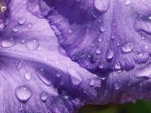 Plan rapproché d'un iris avec des baisses Photographie stock libre de droits