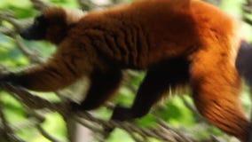 Plan rapproché d'un lémur ruffed rouge marchant au-dessus d'une corde, espèce en critique mise en danger de singe du Madagascar clips vidéos