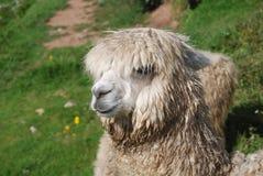 Plan rapproché d'un lama dans le Machu Pichu Photographie stock