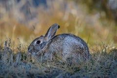 Plan rapproché d'un lapin sauvage de lapin dans le domaine, pré Début de la matinée Photos libres de droits