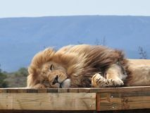 Plan rapproché d'un lion de sommeil sur un échafaudage photographie stock libre de droits