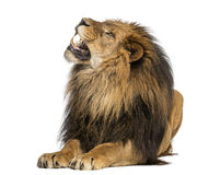 Plan rapproché d'un lion hurlant, Panthera Lion, 10 années, d'isolement Images stock