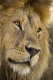 Plan rapproché d'un lion, Serengeti, Tanzanie Photo libre de droits