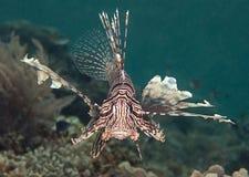 Plan rapproché d'un lionfish Indo-Pacifique nageant au-dessus des coraux de Raja Ampat Image libre de droits
