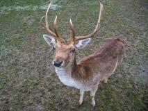 Plan rapproché d'un mâle de cerfs communs affrichés images libres de droits