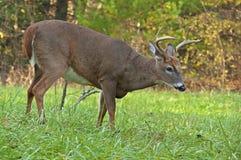 Plan rapproché d'un mâle de cerfs communs coupé la queue par blanc à la crique de Cades. Images stock
