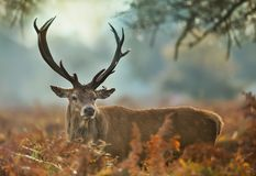 Plan rapproché d'un mâle de cerfs communs rouges avec une oreille blessée images stock