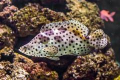Plan rapproché d'un mérou de panthère, blanc avec les poissons tropicaux d'observateur noir, animal familier exotique de l'océan  photo stock