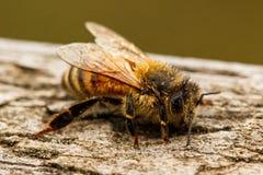 Plan rapproché d'un mellifera froid d'api d'abeille de miel avec la rosée sur ses cheveux image stock