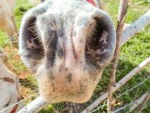 Plan rapproché d'un nez de mule photos libres de droits