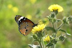 Plan rapproché d'un noir et papillon coloré sur une fleur dans un domaine ouvert image stock