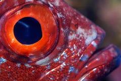 Plan rapproché d'un oeil de poissons image libre de droits