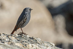 Plan rapproché d'un oiseau, Sikkim Image stock