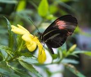 Plan rapproché d'un papillon prenant le pollen photographie stock