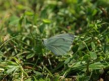 Plan rapproché d'un papillon sur l'herbe photographie stock libre de droits