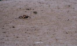 Plan rapproché d'un petit crabe de sable photographie stock libre de droits