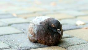 Plan rapproché d'un pigeon de ville se reposant sur la rue, malade et somnolent, grippe aviaire banque de vidéos