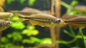 Plan rapproché d'un poisson géant de danio nageant dans l'aquarium, espèce tropicale de vairon des rivières de l'Asie banque de vidéos