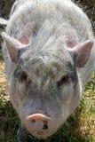 Plan rapproché d'un porc rose avec la fourrure blanche photo stock