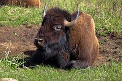 Plan rapproché d'un repos de bison Images stock