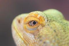 Plan rapproché d'un repos vert d'iguane photos libres de droits