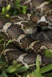 Plan rapproché d'un serpent de lait oriental Image libre de droits