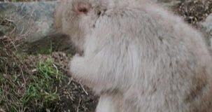 Plan rapproché d'un singe de neige semblant froid avant qu'il se déplace autour de rechercher la nourriture banque de vidéos