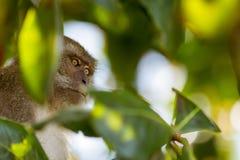 Plan rapproché d'un singe sur un arbre Image libre de droits