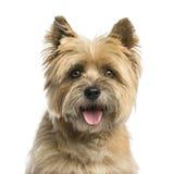 Plan rapproché d'un terrier de cairn image libre de droits