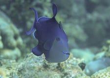 Plan rapproché d'un triggerfish ou d'un déclencheur Odonus Niger de redtooth du Niger nageant au-dessus du récif coralien de BAL image libre de droits