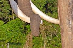 Plan rapproché d'un tronc d'éléphant tirant l'herbe Photographie stock