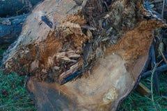 Plan rapproché d'un tronc d'arbre superficiel par les agents image stock