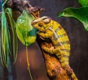 Plan rapproché d'un vert et un caméléon réuni noir de panthère, un lézard tropical coloré du Madagascar, un animal familier exoti photo libre de droits
