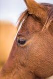 Plan rapproché d'un visage de cheval Photo libre de droits