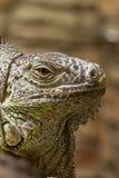 Plan rapproché d'un visage 3 de reptil d'iguane Images libres de droits